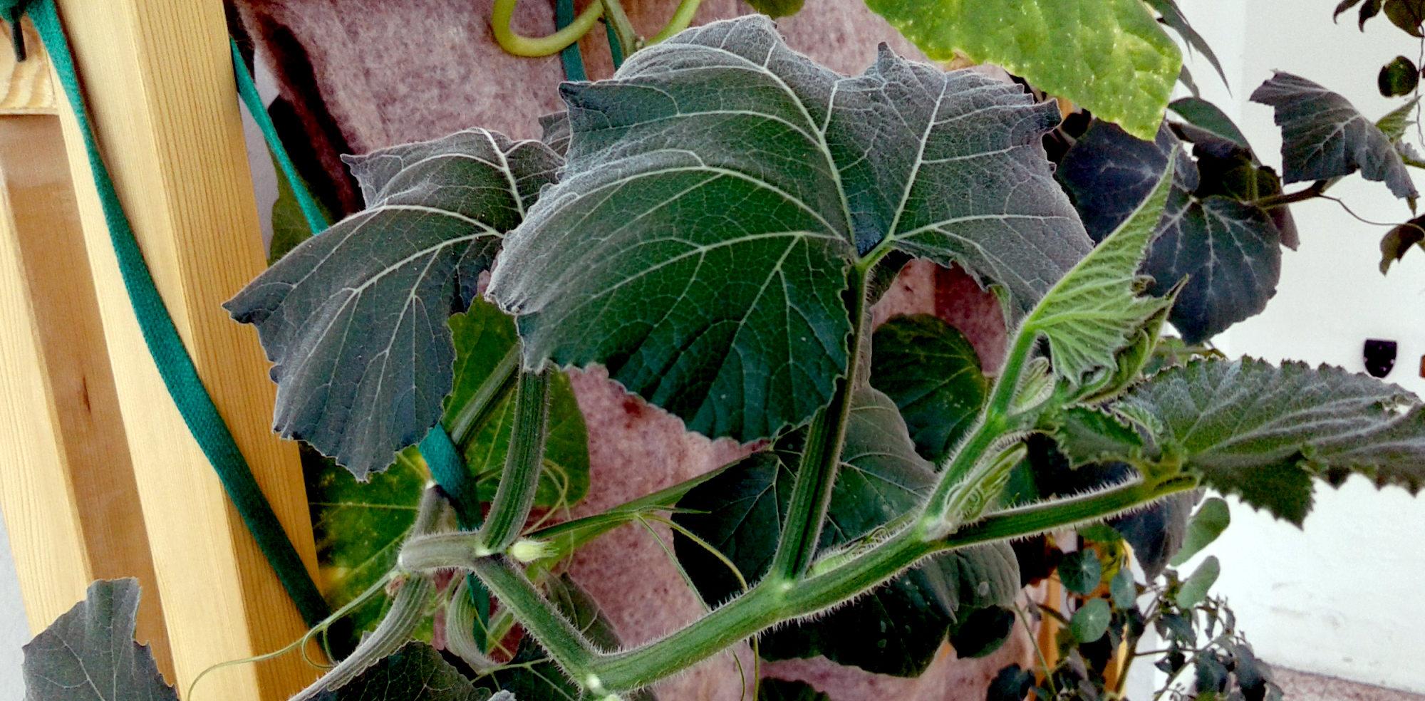 Zucchine d'Albenga su modulo di coltivazione verticale in lana